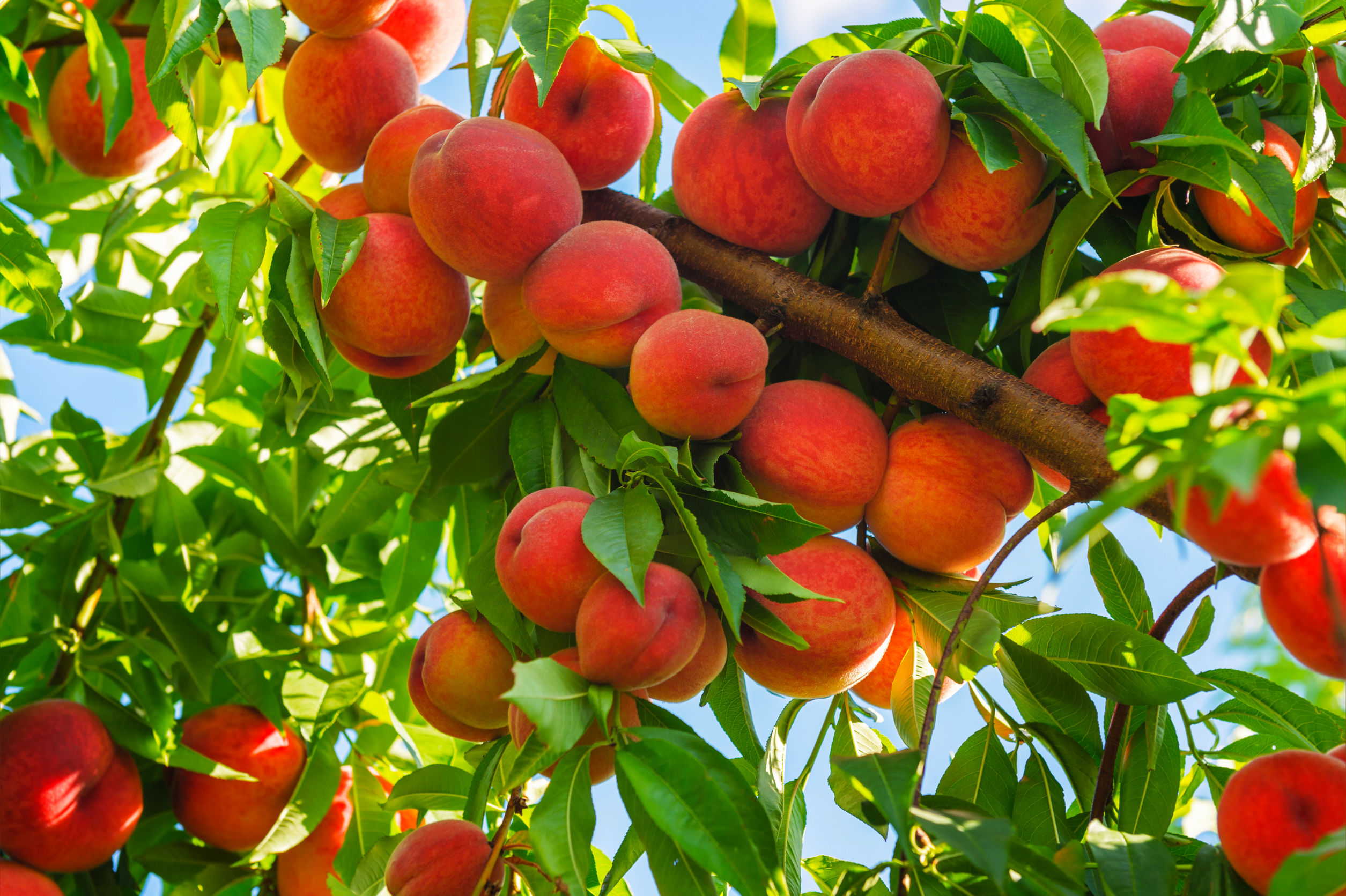 5 Reasons to Buy Your Fruit Trees Online
