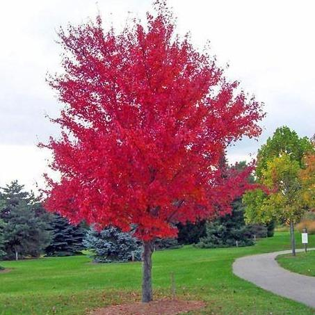8 Beautiful Trees with Red Flowers