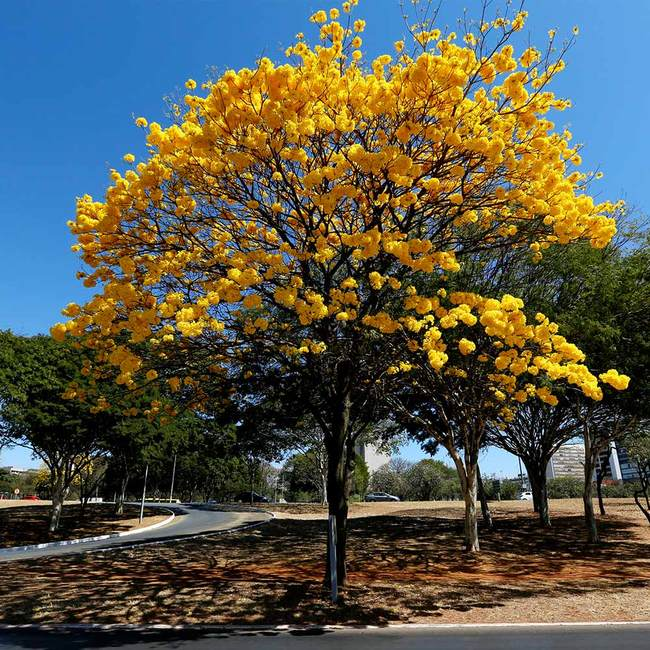 7 Most Popular Trees with Yellow Flowers